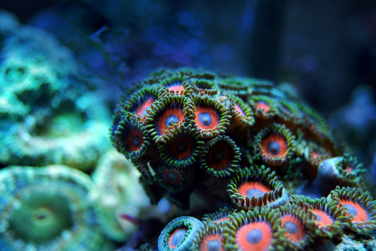 coral-2694453_1280 (1)